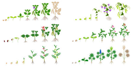 Set of growth cycles of leguminous plants on a white background.  イラスト・ベクター素材