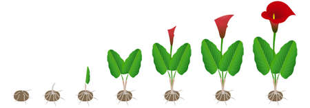 Cycle of growth of calla lilies from a tuber on a white background.