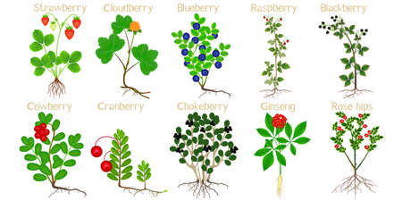 Set of berry plants with roots on a white background. Reklamní fotografie