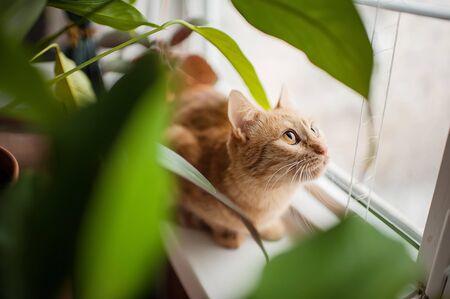 beaux yeux: de grands yeux magnifiques chat rouge