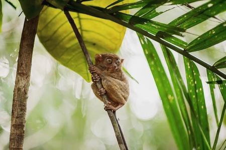 philippine: Philippine sarangani tarsier on a branch