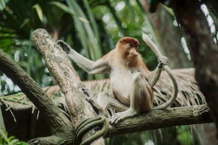 Kakha or Proboskis (lat . Nasalis larvatus) - large monkey with big nose