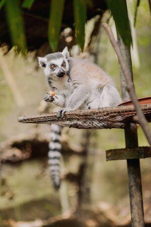 big beautiful Ring-tailed lemur (Lemur catta)