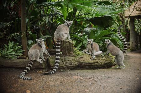 big beautiful family of lemurs