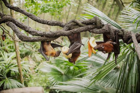 enormous: Flying foxes , flying fox , Pteropus - the enormous bat