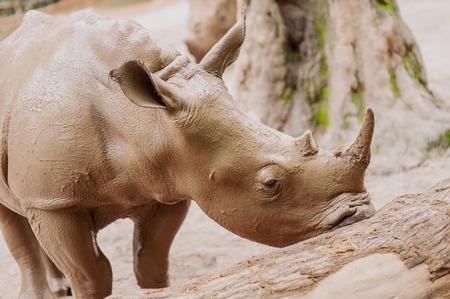 huge beautiful rhinoceros in the mud Stock Photo