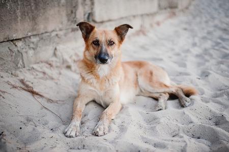 Beautiful dog lying on the sand
