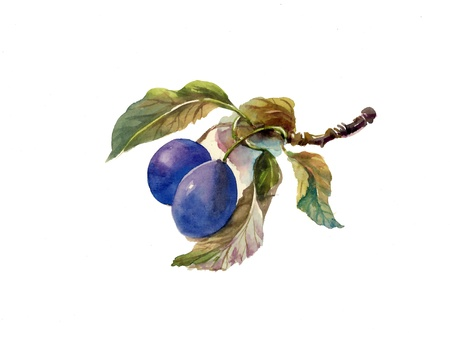 Watercolor painting: plums Banco de Imagens