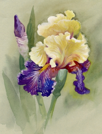 isolated irises: Yellow iris