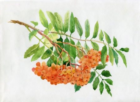Red rowan watercolor illustration