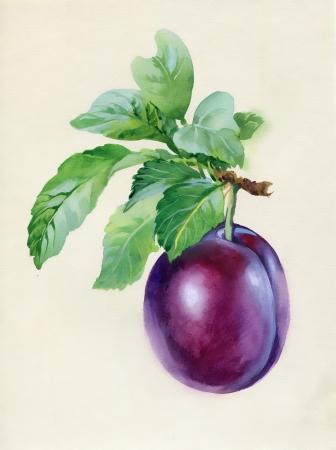 Blue plum branch Stock Photo