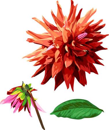 georgina: set of isolated georgina flower and leaves