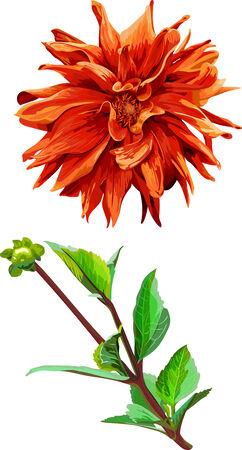 georgina: set of isolated objects georgina flower and leaves