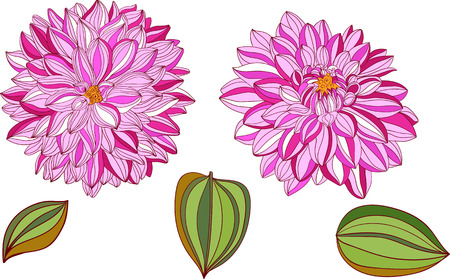 isolated objects of decorative dahlia and leaves