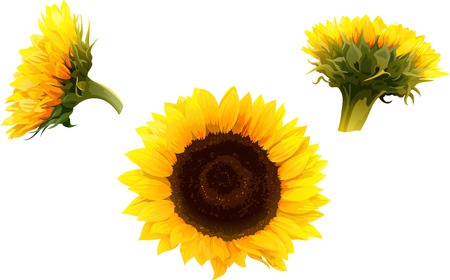 set of 3 isolated sunflowers in realistic style Vectores
