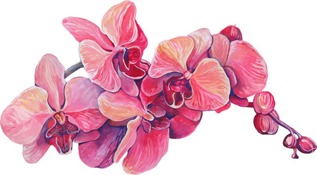 orchid: close-up of pink orchid flowers on a branch in blossom Illustration