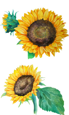 set of  isolated watercolor sunflowers in realistic style