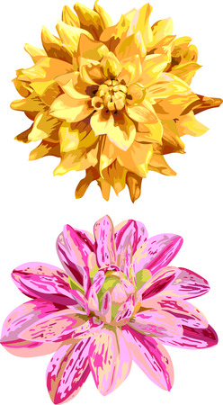 dahlia: set of 2 isolated flowers of dahlia in watercolor style
