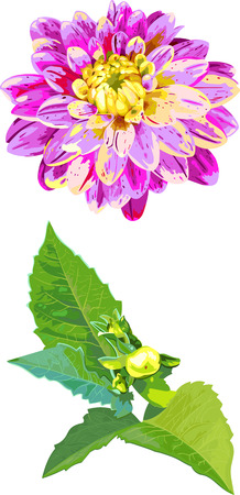 dahlia: set of 2 isolated objects of dahlia flower and leaves in watercolor style Illustration