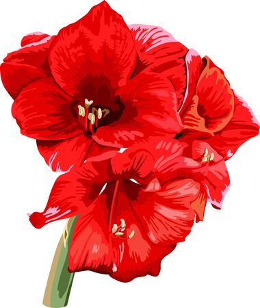 isolated detailed image of amaryllis flower on a stem in watercolor style 2 Ilustração