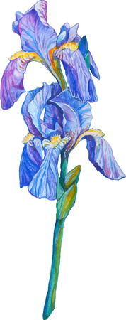 isolated detailed image of iris flower on a stem in watercolor style