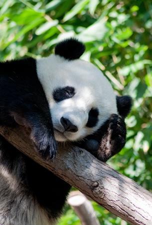 San Diego Zoo, the sleeping panda photo