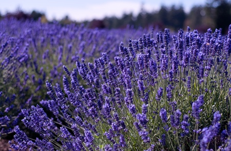 Lavender Farm, Sequim, WA Stock Photo