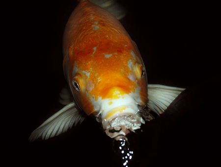 Orange fish Stock Photo - 3420970