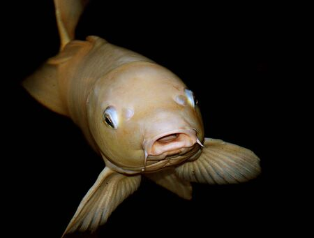 Yellow fish Stock Photo - 3420962