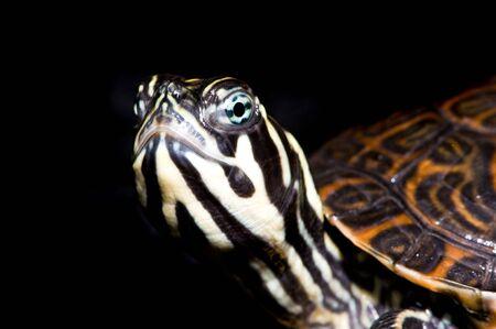 primitivism: Turtle on black background