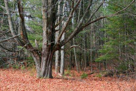 Large old leafless tree in fall season