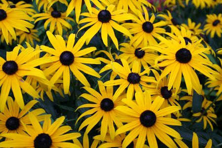 Black-eyed susans with yellow petals growing in a garden
