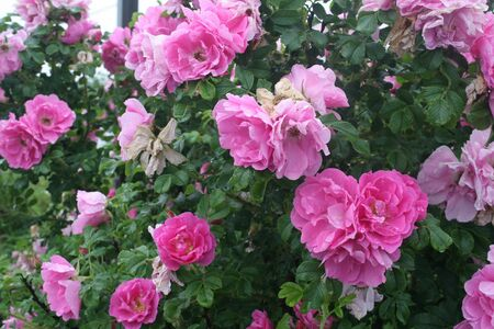 Wild pink roses Stock Photo