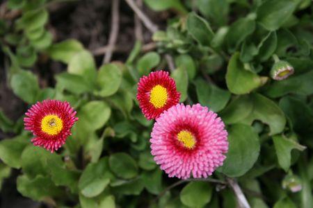 Pom pom flowers in a garden Stock Photo