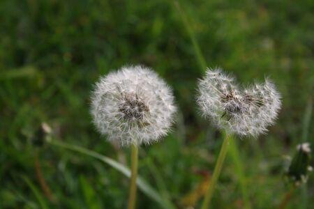 Dandelion seed puff ball