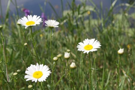Daisies growing in the field