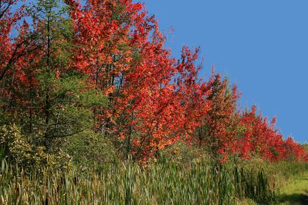 Row of  red trees by the roadside in the fall Stock Photo