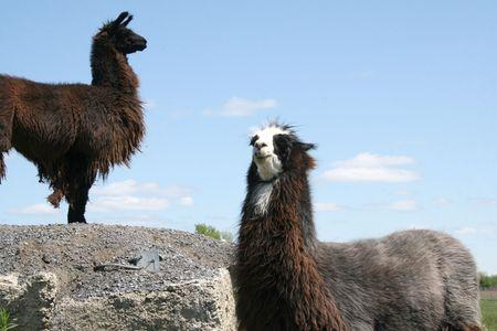 Llamas deciding who will contol the hilltop