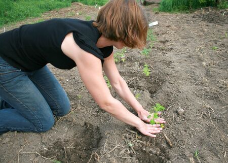 A young woman is planting tomato plants in a row Stock Photo