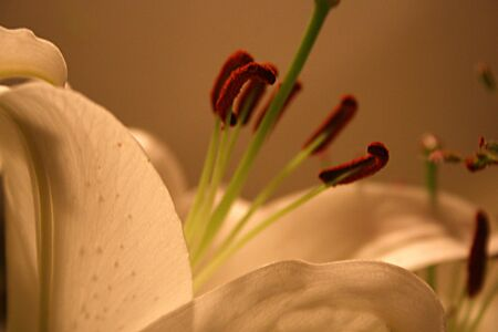 Closeup of soft image of lily as background in sepia tone