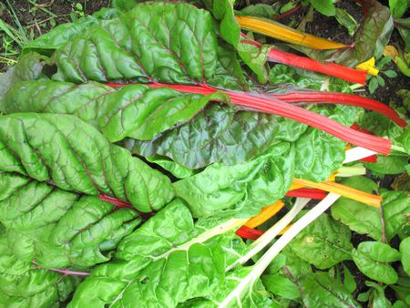 Freshly picked multicolored swiss chard