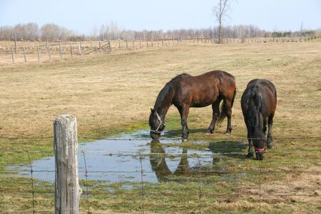 Two horses drinking water in a field in spring