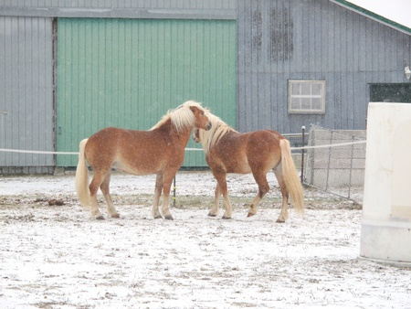 Horses standing in falling snow