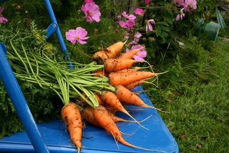 Garden carrots pulled from garden on  blue chair photo