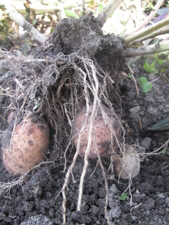Potatoes with roots pulled from the earth