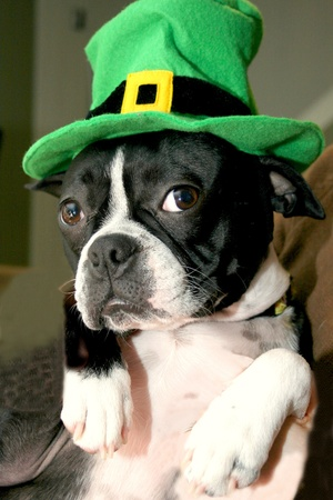 Green Hat on a Boston Terrier photo