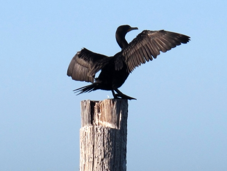 Bird perched on post with wings spread open