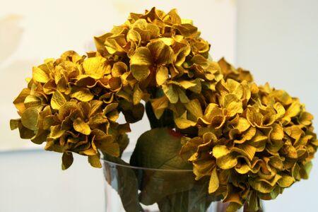 Closeup of beautiful decorator hydrangeas
