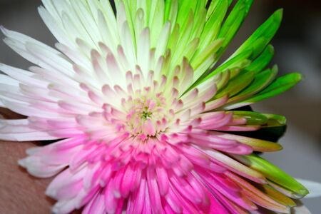 Chrysanthemum with green, pink, and white petals