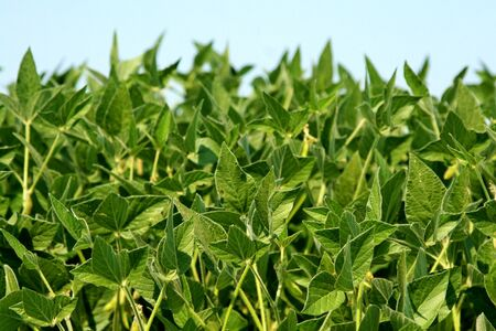 Closeup of soy plants grown in a cultivated farmers field
